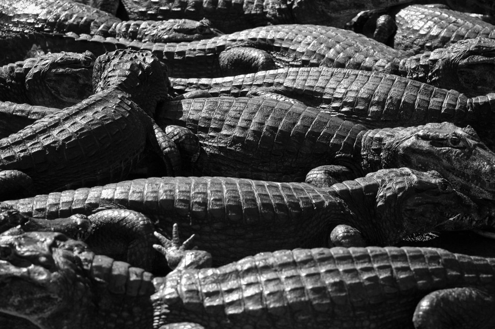 photoblog image Caiman Party